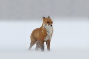 fox snow wallpaper