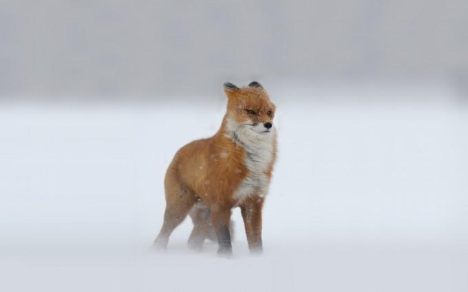 fox snow wallpaper