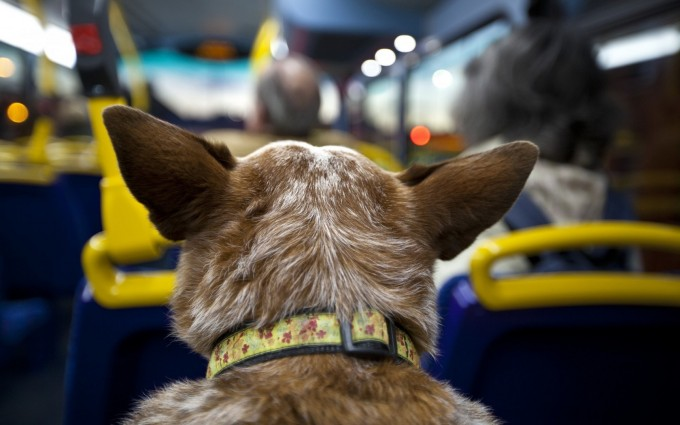 funny dog on bus