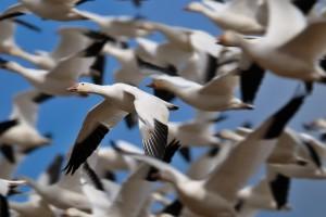 geese wallpaper