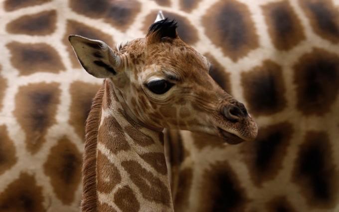 giraffe baby images