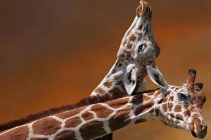 giraffes love romantic