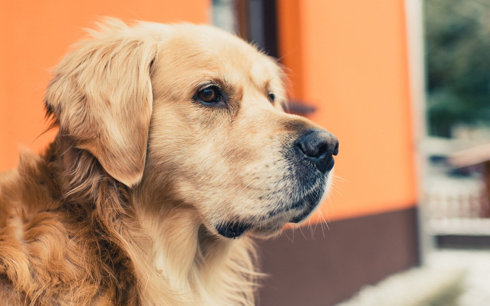golden retriever download