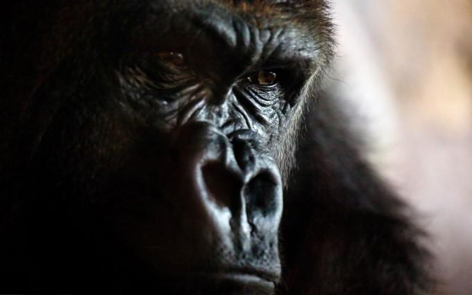gorilla beautiful