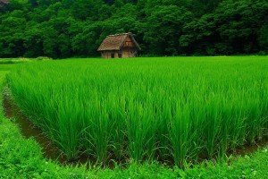 green rice paddy