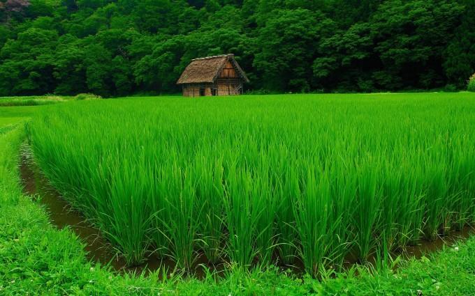 green rice paddy