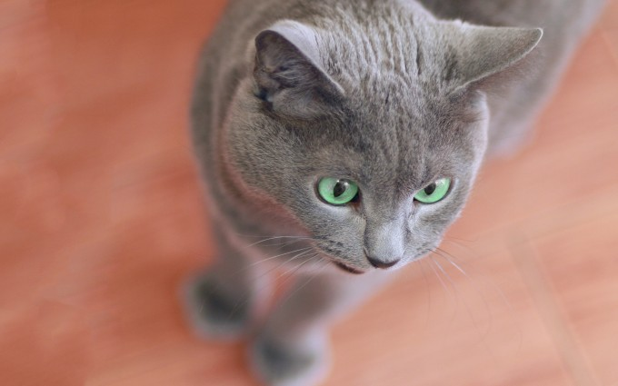 grey cat images