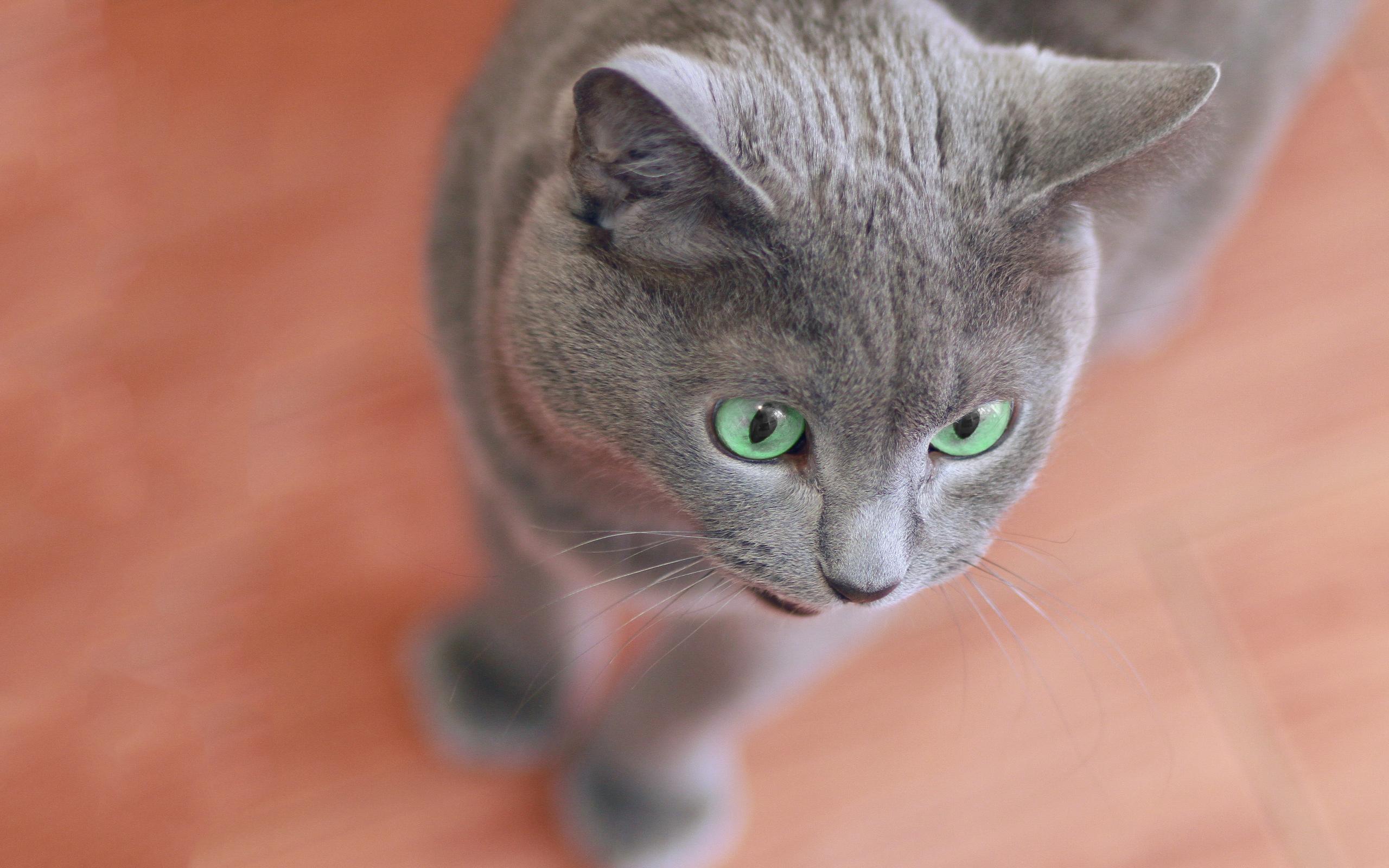grey cat images