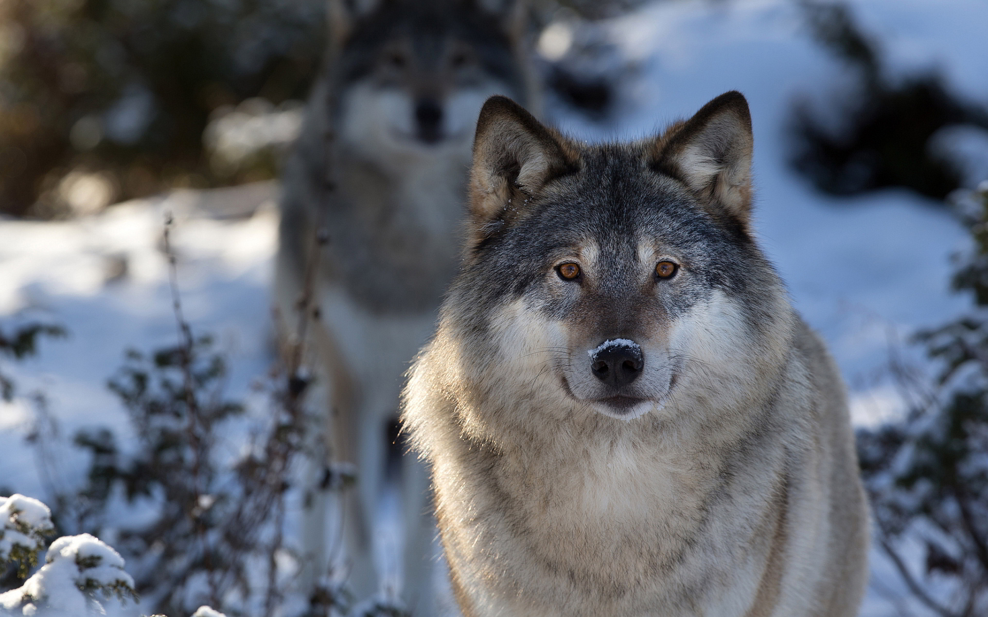 grey wolf images free