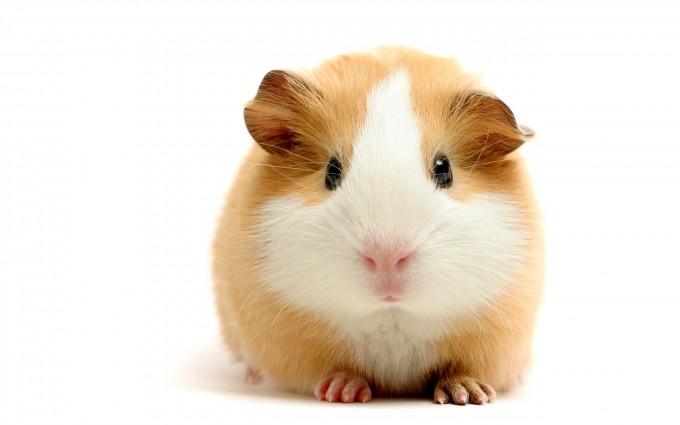 guinea pig beautiful