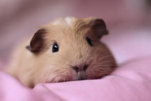 guinea pig lovely