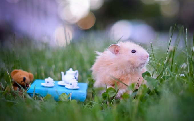 hamster wallpaper cute