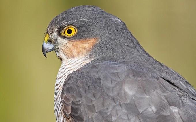 hawk bird hunting mode