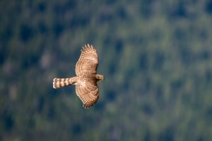 hawk flying wallpaper beautiful