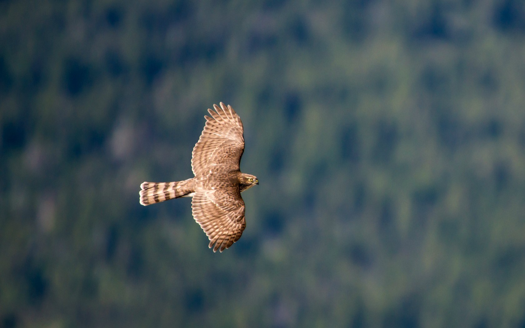 hawk flying wallpaper beautiful