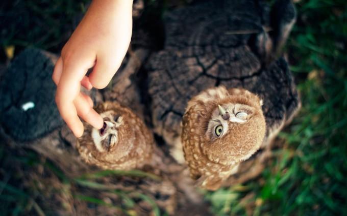 hawk owl babies