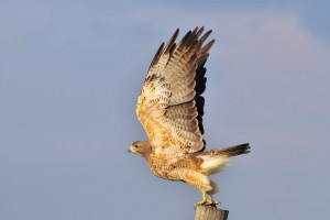 hawk wings pictures