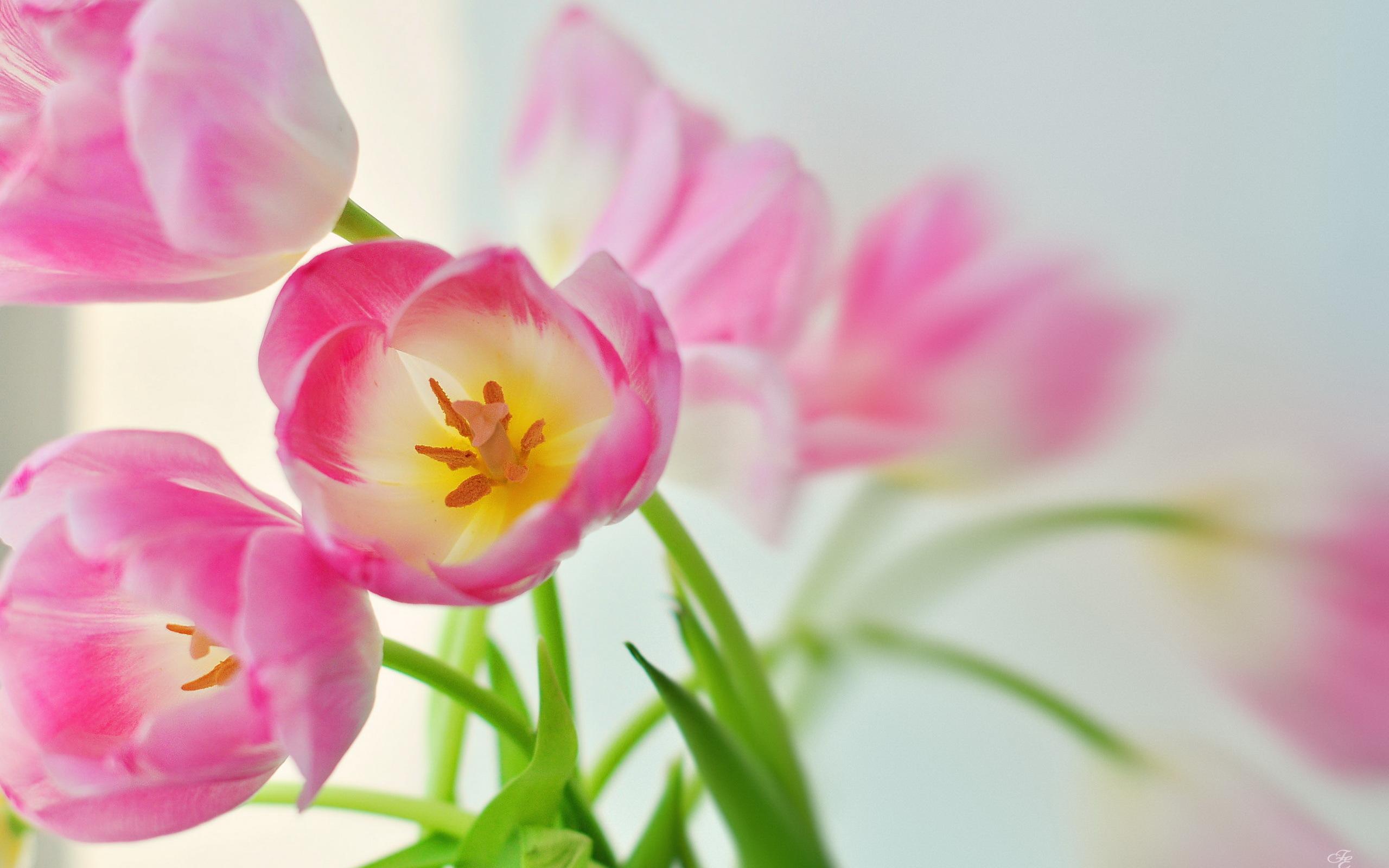 Hd Tulip Wallpaper - HD Desktop Wallpapers