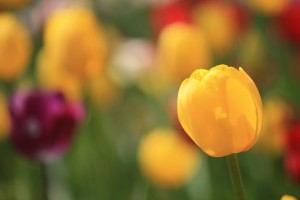 hd tulip wallpapers