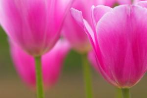 hd tulips wallpaper
