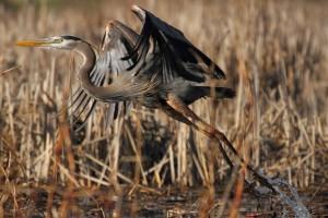 heron bird images