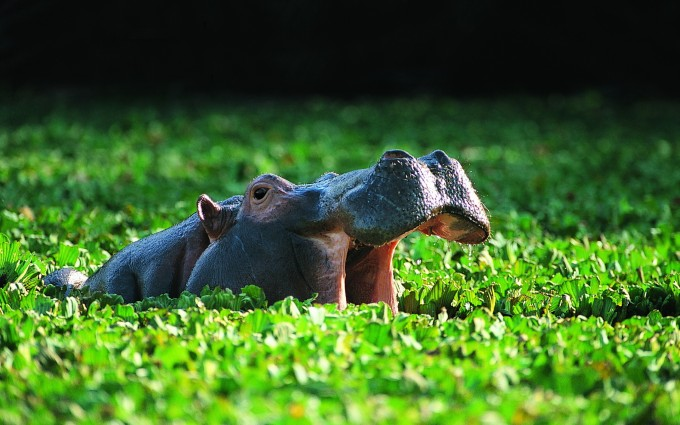 hippo animal nature images