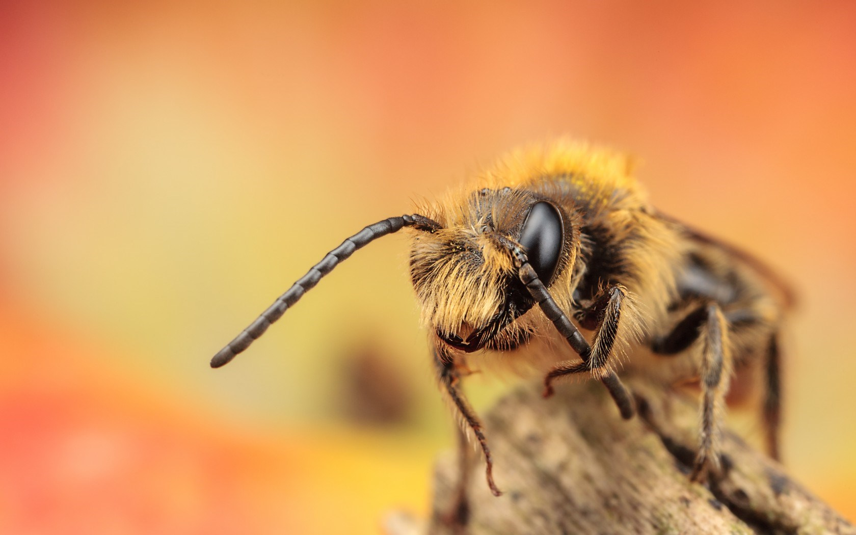 honey bee images