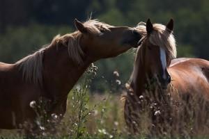 horse pc wallpaper