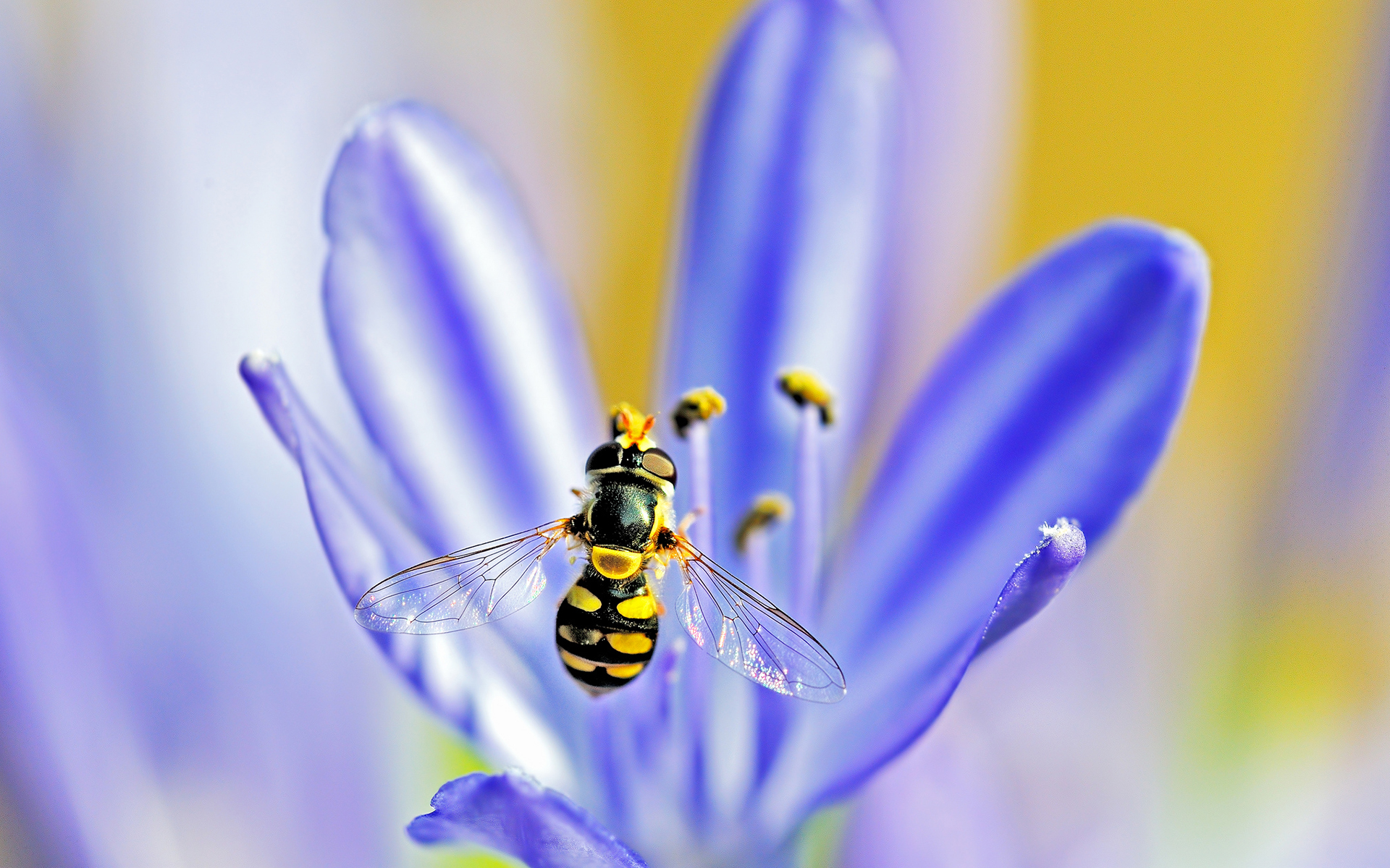 hoverfly agapanthus flower