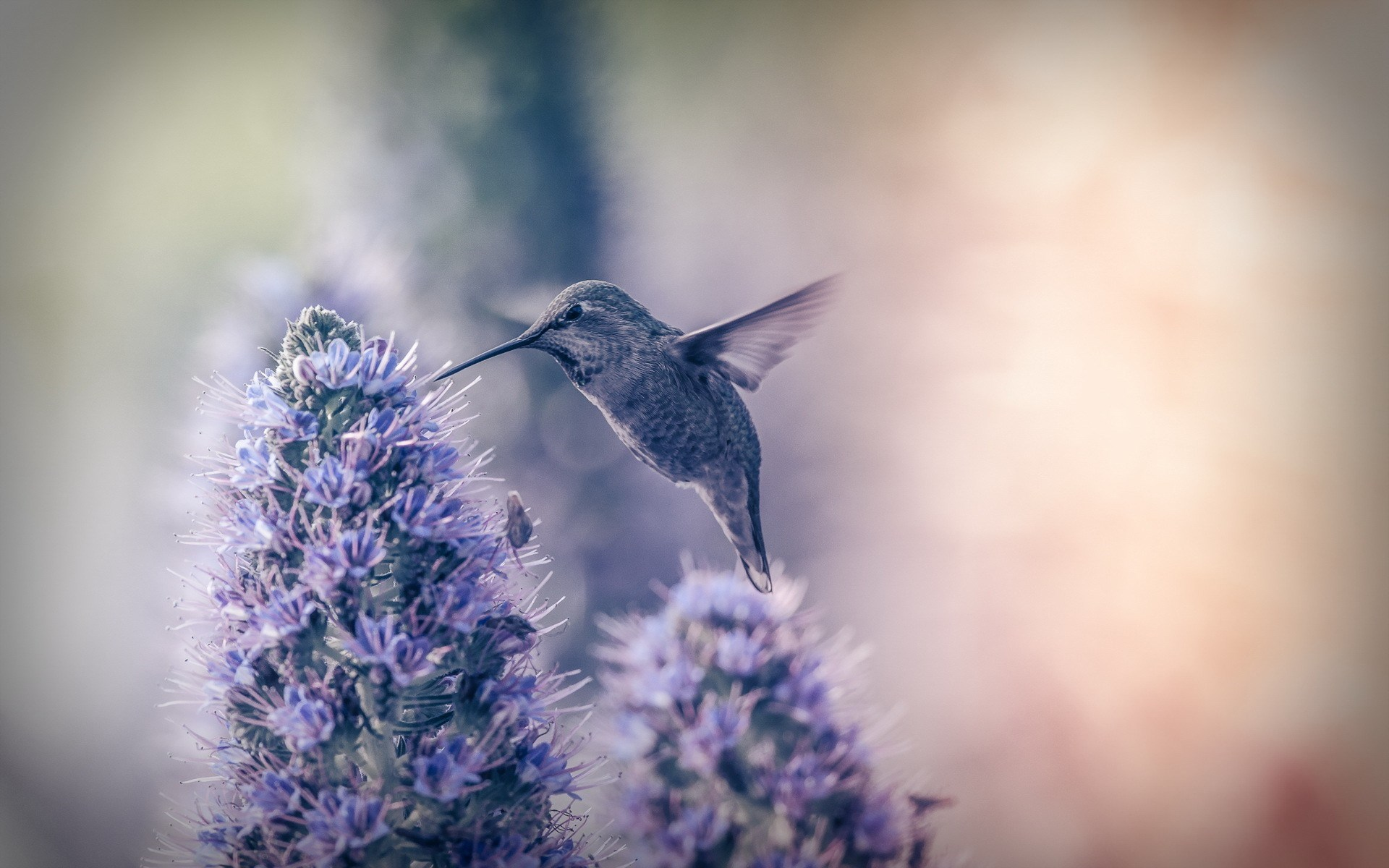 hummingbird background downloads