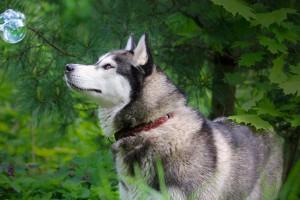 husky dog wallpaper