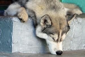 husky sleepy head