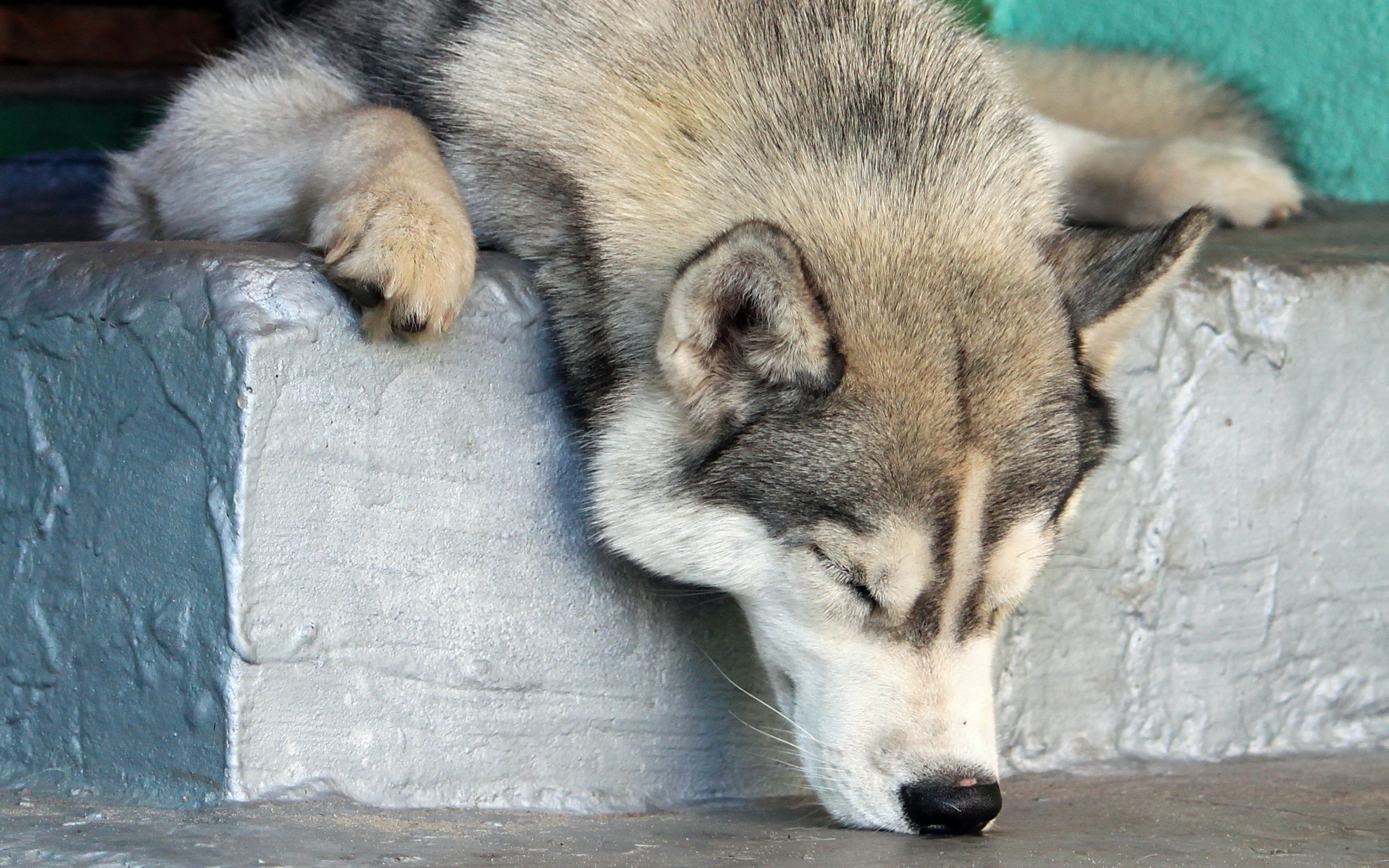 husky sleepy head