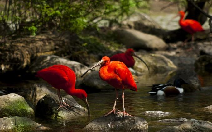 ibis bird images