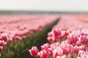 images tulips flowers