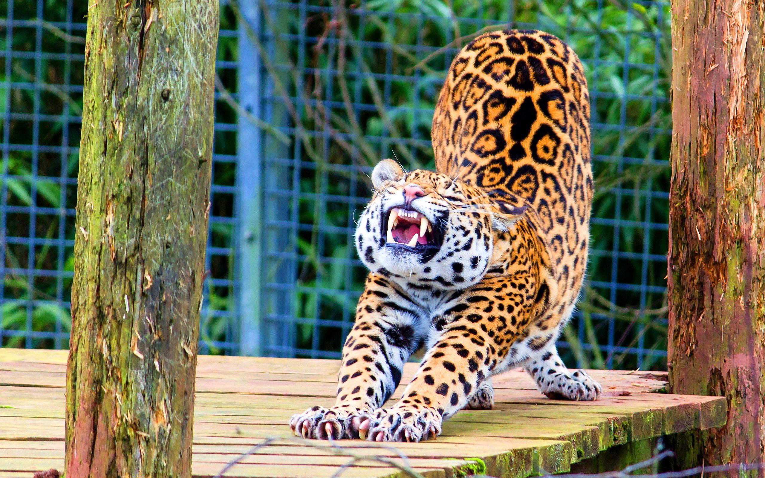 jaguar funny