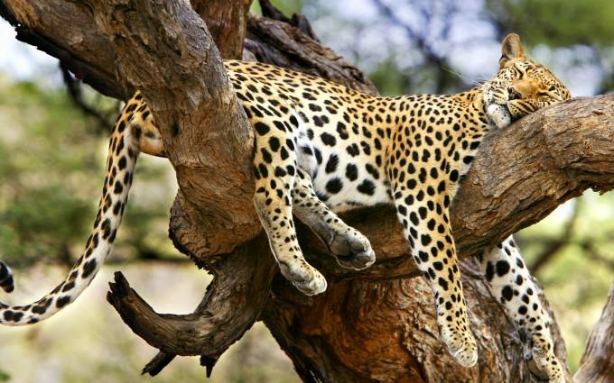jaguar sleeping cute
