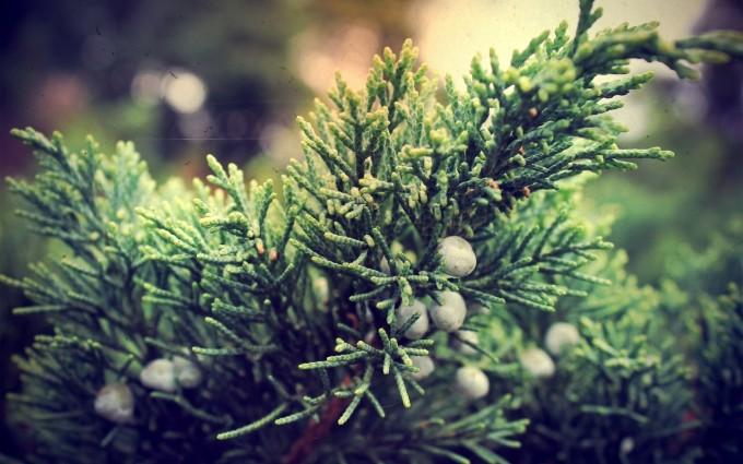 juniper berries wallpaper