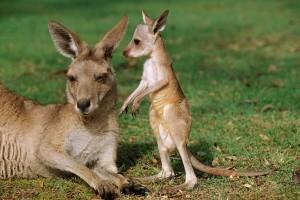 kangaroo baby sweet