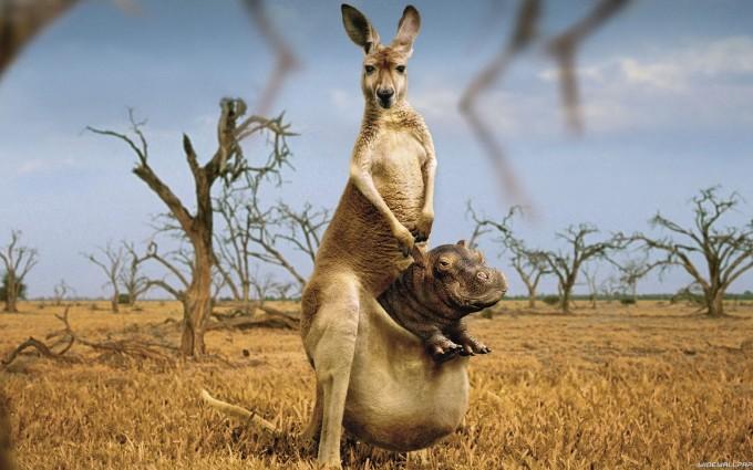 kangaroo wild wallpaper