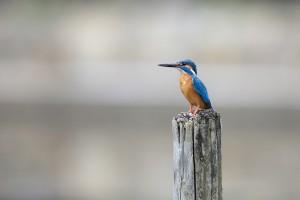 kingfisher bird breed