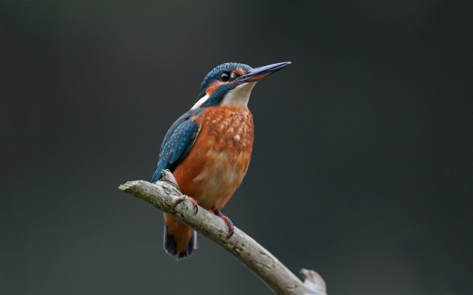 kingfisher hd