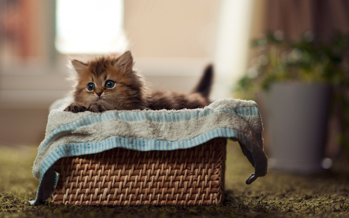 kitten basket cute images