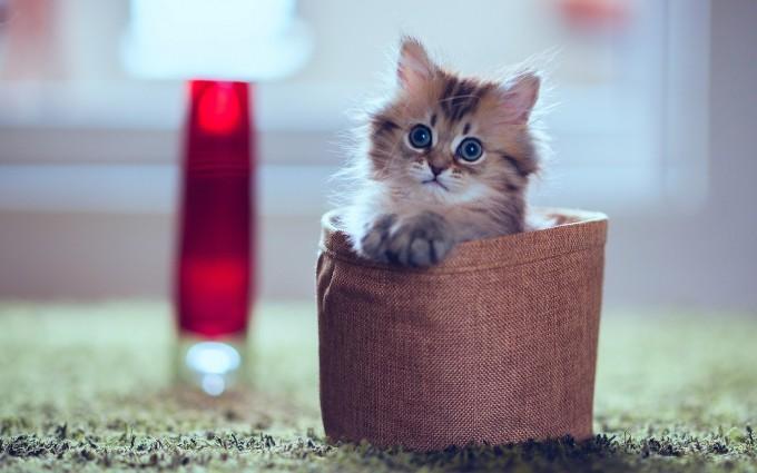kitten desktop backgrounds
