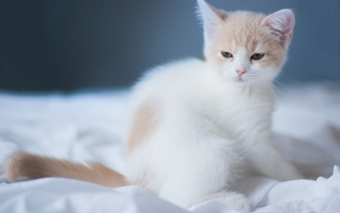 kitten white cute