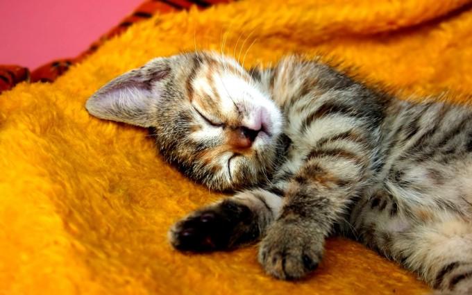 kitty animal wallpaper