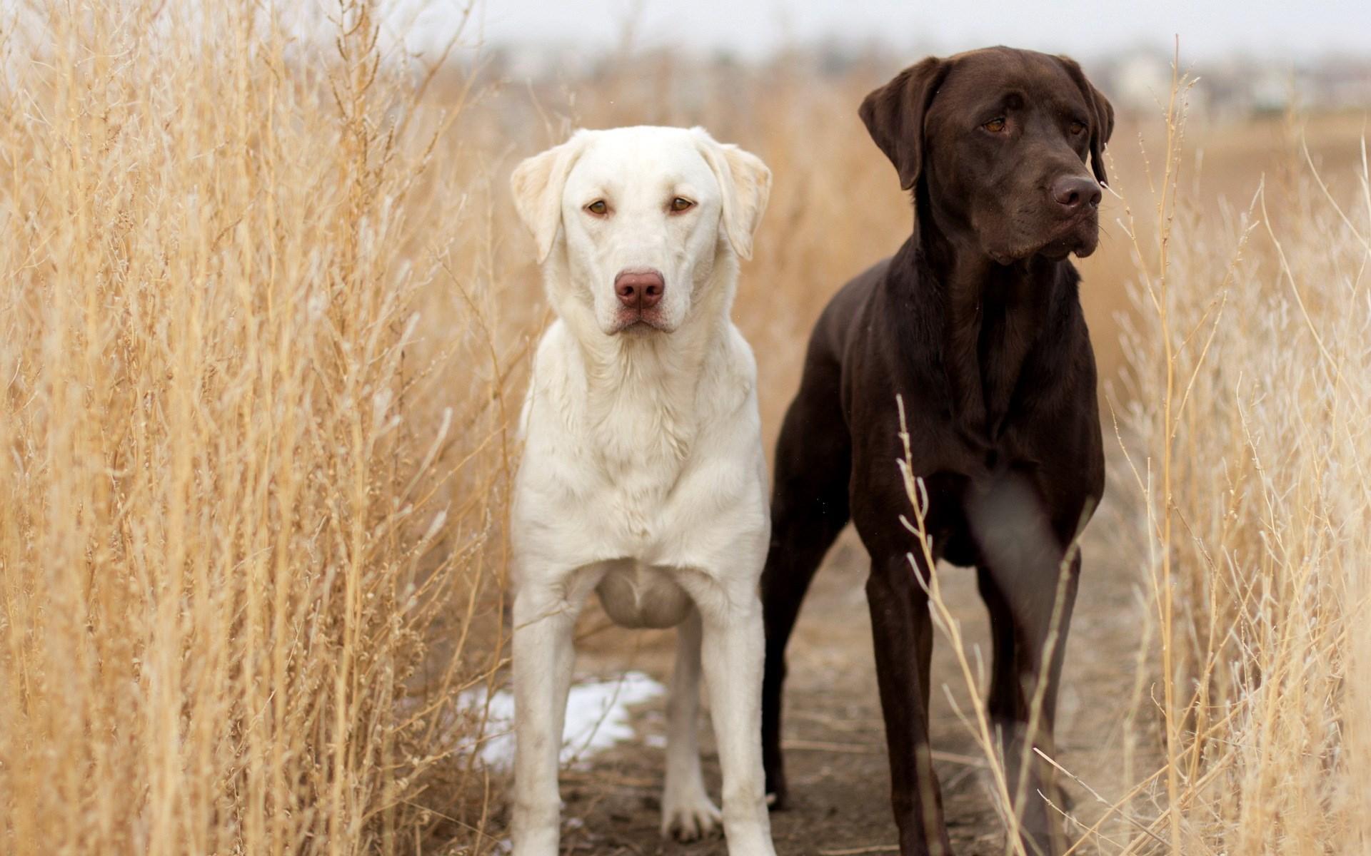 labrador dogs