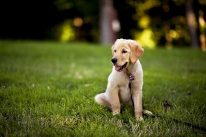 labrador puppy images