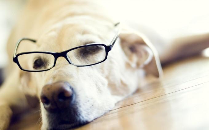 labrador retriever dog funny
