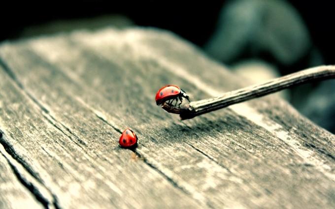 ladybug wallpaper backgrounds